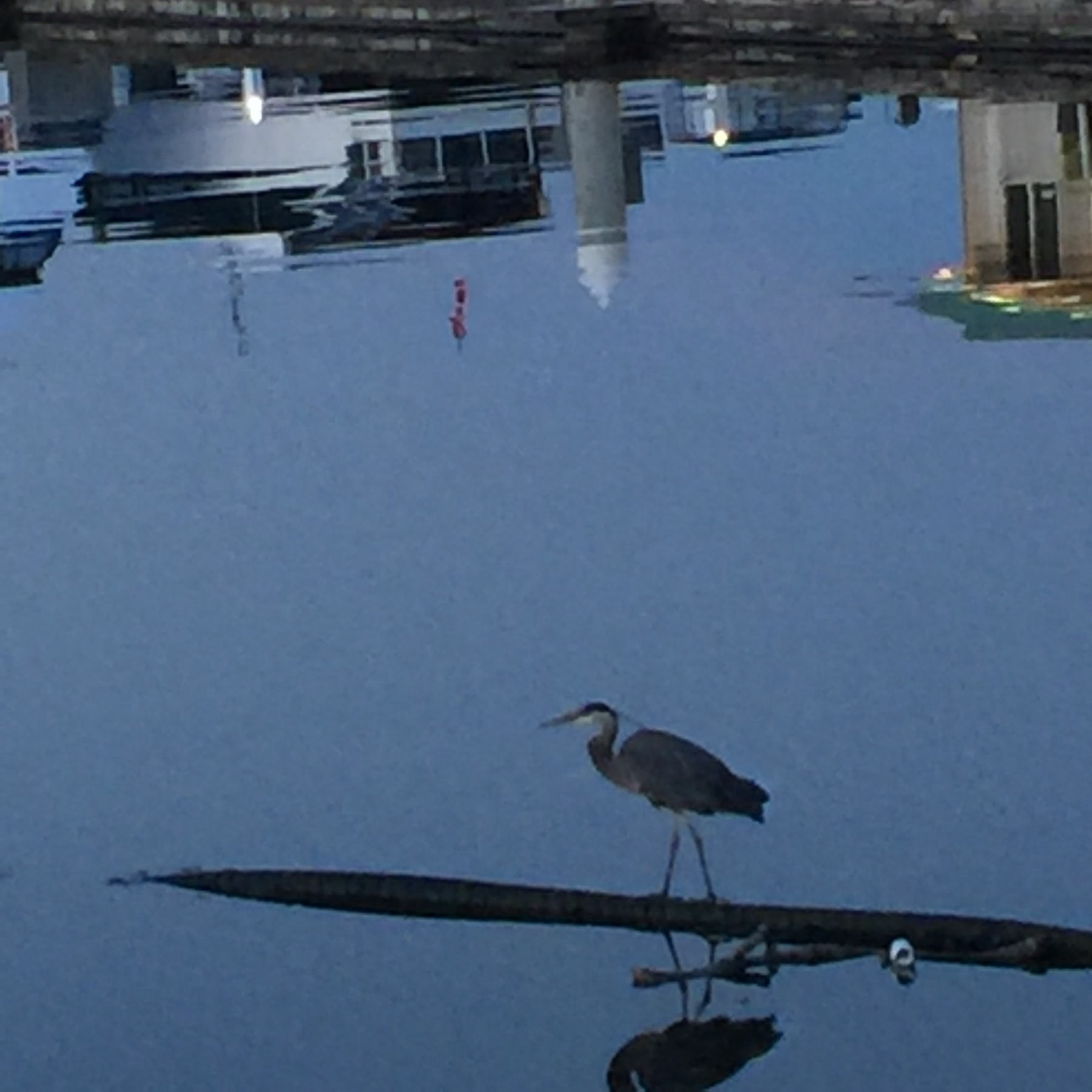 Heron & reflecting water in marina